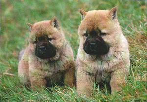 Chow chow welpen chow chow zwinger zung tzung le